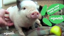 Micro / Mini Pigs for sale at Petpiggies