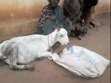 Goat Gives Birth To Human - Looks Like BABY in India Mysore - Exclusive