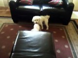 When Ozzy Met Violet (Bichon Frise dog vs. Maltese puppy - playing)