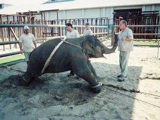 Elephants in Circuses_ Training _ Tragedy _ _ Videos _ PETA.mp4
