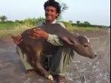 v amazing cow baby having 2 leg watch n share