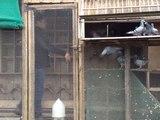 "Contact "" La Colombe Falaisienne "" pigeon voyageur"
