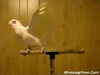 Parrot Dancing on punjabi Songs