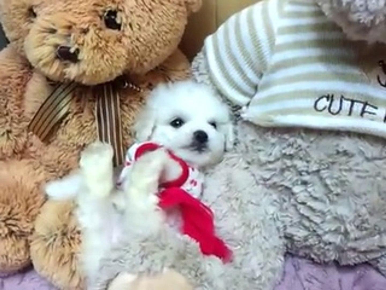 How Precious Adorable Teacup Bichon Frise Puppy More Bichon Frise Video Dailymotion