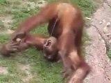 Un singe qui se pisse dans la bouche