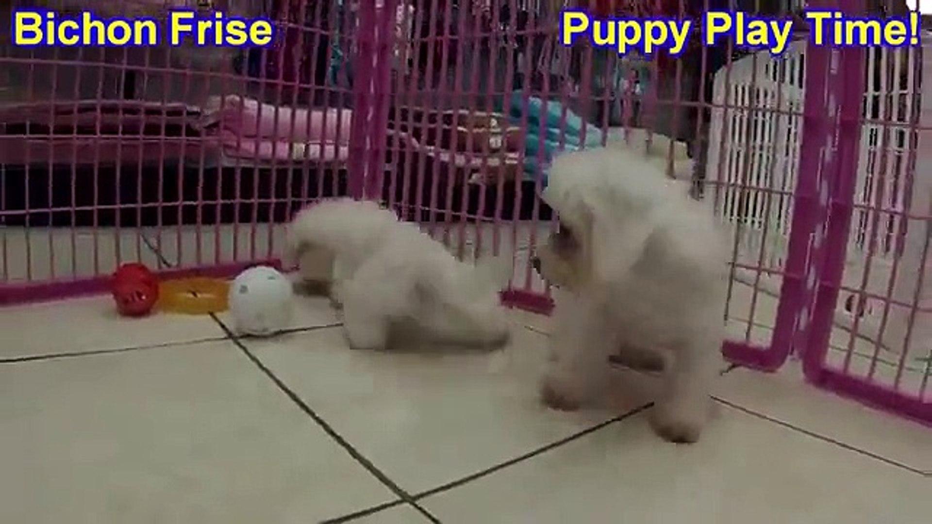 Bichon Frise, Puppies, For, Sale, In, East Honolulu, Hawaii, HI, Makaha,  Pukalani, Haiku Pauwela, Ma