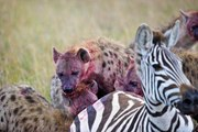 Intelligent Animals: HYENAS - Eating, Mating, Laughing [Nature Documentary]