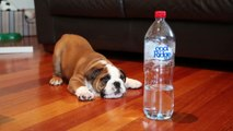 Bulldog Puppy adorably plays with Bottle