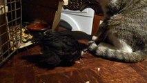 2013 : Pioupiou, poussin trouvé et Arthemis, chatonne de 5 mois