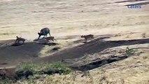 Une lionne s'en prend à de buffles où se trouve un petit et ce qui arrive vous laissera en haleine!