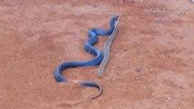 Un serpent bleu indigo mange un serpent à sonnette