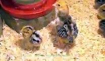 Speckled Baby Chicks 1-2 Weeks Old 2015