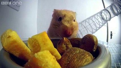 Le repas fou d'un hamster