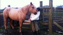 Maxie Quarter Horse gets a beardy trim: HOLLYMOON PEPI McCUE, 2012 Palomino QH filly