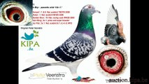 DV-039-13-7483 ,Father _ Champion 509 Mother_ corka syna Dolce Vita KULBACKI RACING PIGEON STUD