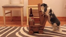 Wallace the rabbit deliver beer on his miniature beer trolley