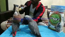 Hand Tame Congo African Grey Parrot Chicks of Syed Ovais Bilgrami