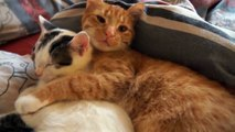 Best Two cats hugging funny cats compilation