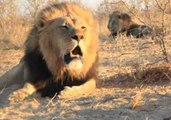 Lion Chorus Rock and Roar in Botswana