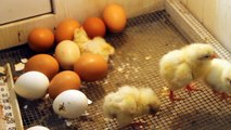 Baby Chicks Think Left For Lower Numbers, Right for Higher Like Humans