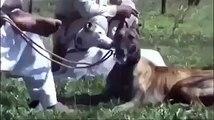shakar dogs