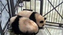 Playful giant pandas get stuck between cell bars