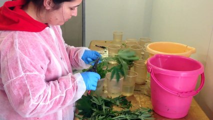 Israel reveals specialized medical marijuana strains