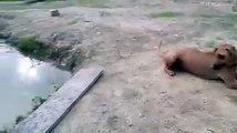 Un homme prétend se noyer, son chien se jette à l'eau pour le sauver