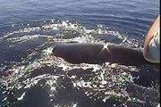 L'incroyable sauvetage d'une baleine à bosse