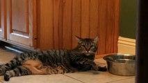 un chat paresseux boit de l'eau