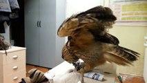 Beau hibou grand-duc