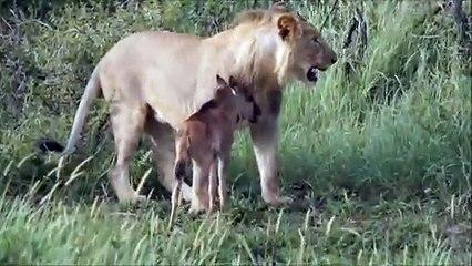 Un lion sauve un bébé antilope de d'autres lions