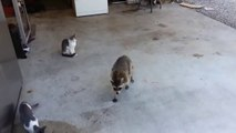 Racoon steals cats' meal - funny