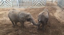 Curious Elephants Present an Amusing Scene