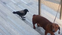 Un corbeau attaque un chien... Oiseau vicieux!