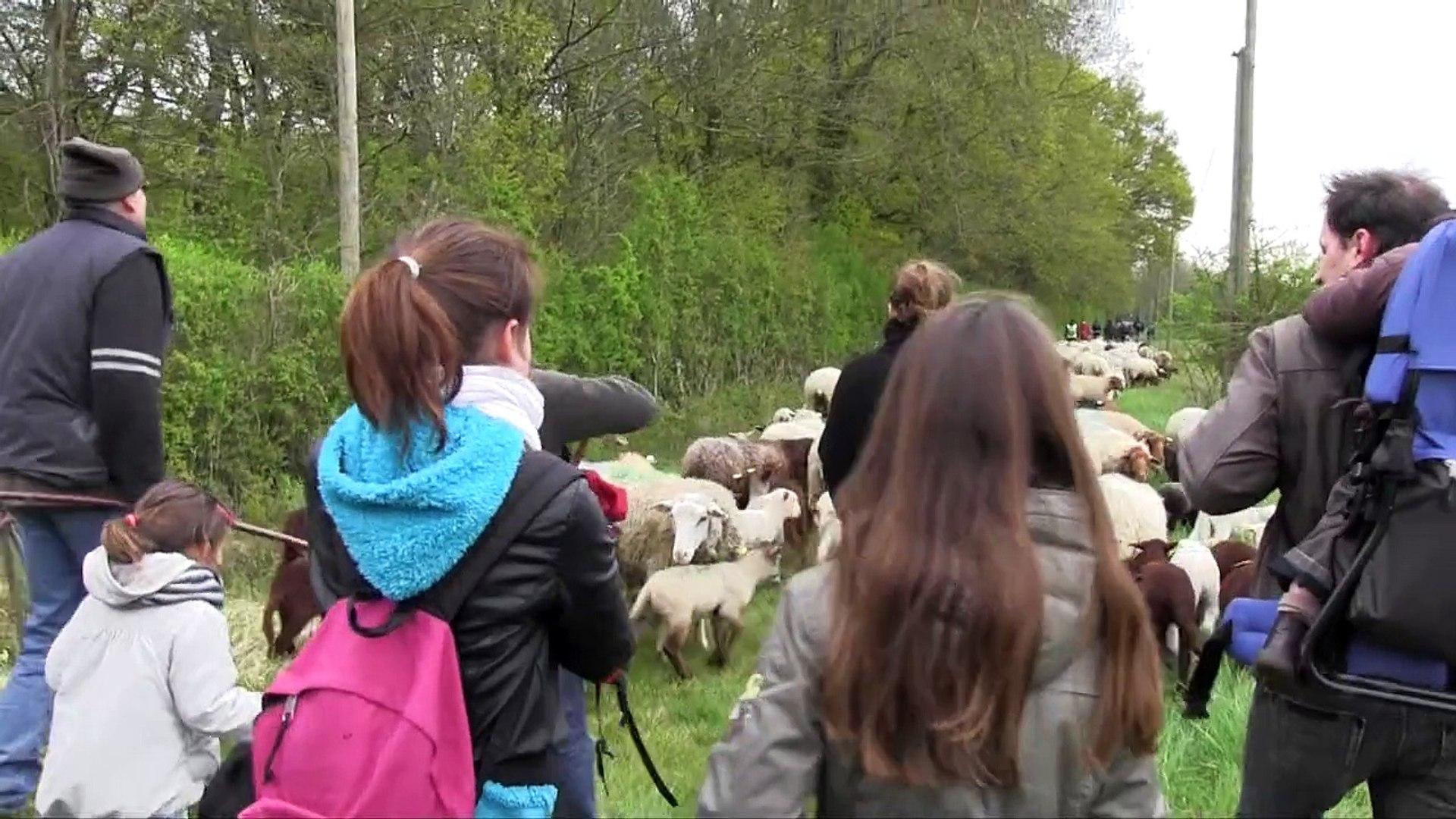 Transhumance : ce n'est pas le silence des agneaux !