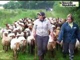 VIDÉO. Marolles - Averdon : brebis et agneaux s'occupent de la réserve naturelle