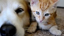 Dog sleeping with kittens : so adorable pets!