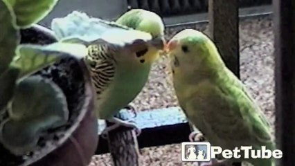 Love Birds Go Beak to Beak