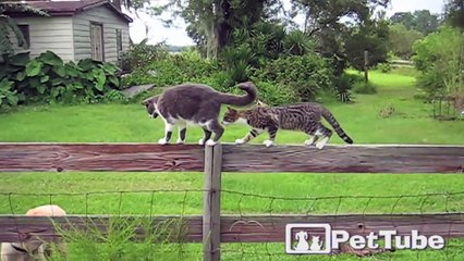 Cats in a Fence-Off