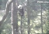 Cute Giant Pandas Relax on Trees in the Wilderness