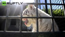 Rare White Tigers Cubs Roar For First Time