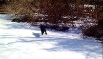Black Lab Dog Body Slides in the Snow Super Funny Video