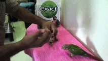 Cinnamon Mutation Green Cheek Conure Chicks of Syed Ovais Bilgrami