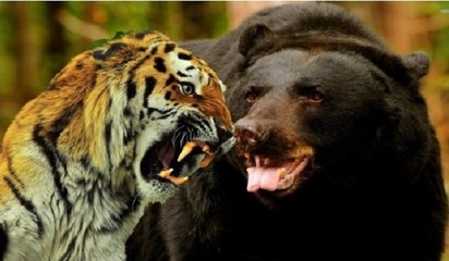 Siberian Tiger Kills a Black Bear