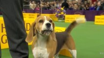 Dogs will be dogs: Westminster Dog Show 2015