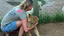 A young lady is getting mauled by two  lions