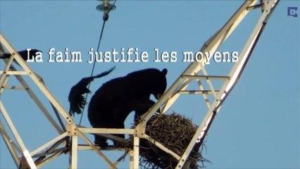 Un ours escalade un pylône électrique pour manger les œufs d'un nid de corbeaux