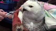 Snowy Owl 2 Gets Solid Food - Nature's Nursery