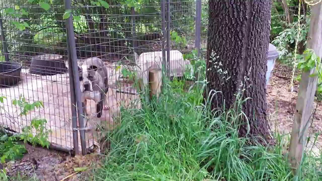 Livestock Guardian Bulldog
